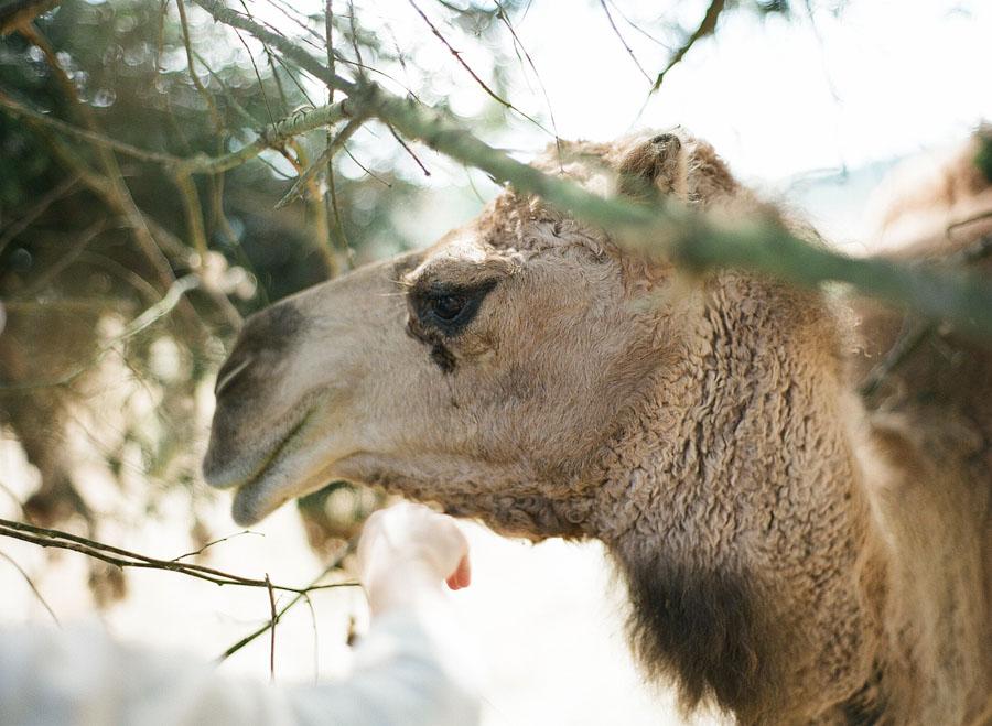 Mona the camel near San Juan Vineyards on San Juan Island